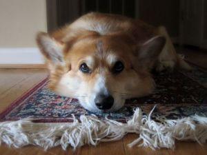 carpet dog