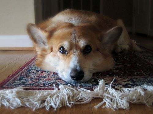 carpet dog